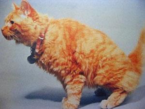 gato_dificuldade_urinar