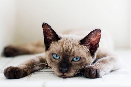 -Siamese-Cats-siamese-cats-35379644-500-332
