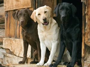 dogs-labrador_00354124