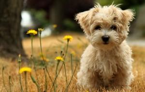 Toy-Poodle-Dog