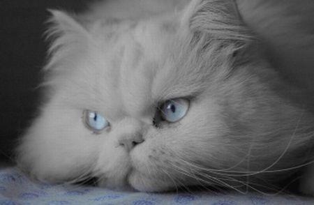 509976-fotos-de-gato-persa-2