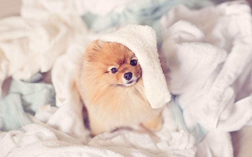 Pomeranian__fluffy_2805682k