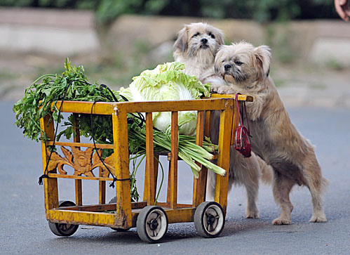 epa01835804 Pet dogs go shopping with their owner Ms Wang (unseen) in Shenyang, northeast China, 24 August 2009. After years of training the dogs can carry a handbag and push a trolley of vegetables. EPA/MARK