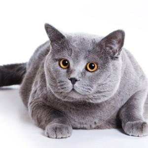 Gato-Obeso (1)
