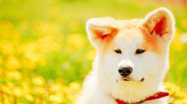 comprar-cachorro-akita-3