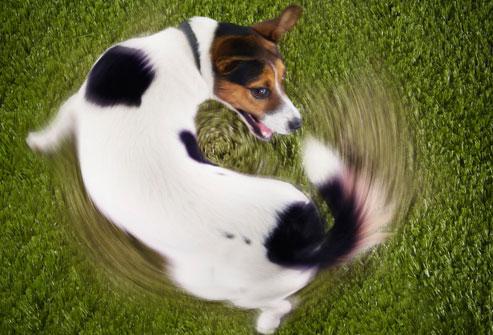 cao-corre-atras-do-rabo-dog-The-Chase