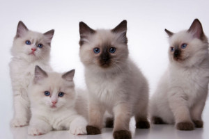 A-family-of-Ragdolls