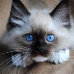 mitted-ragdoll-kitten